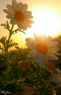 photography sunset flower flowers love colorful
