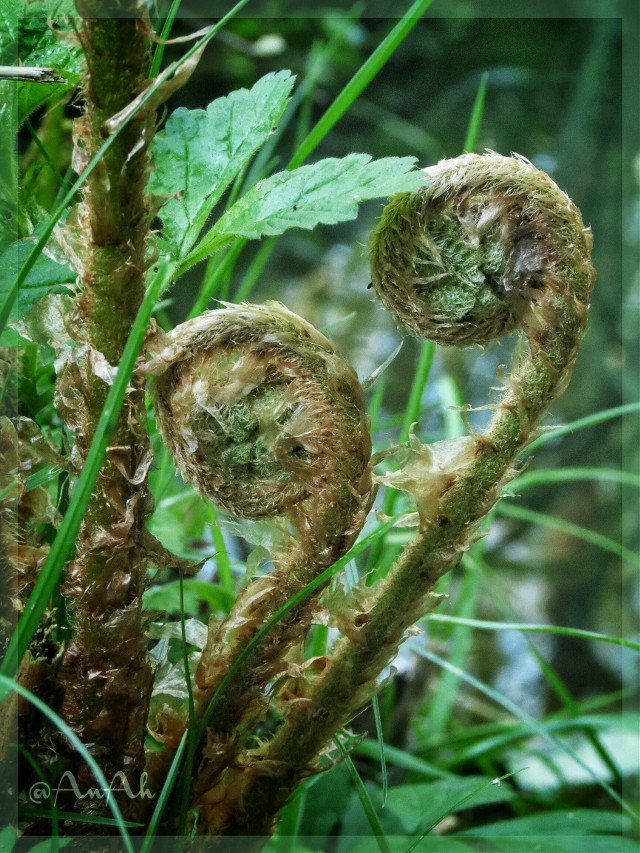 ✳  1th.Mai walk in the Forrest  .... jung Fern ✳   #forest #nature #plant #spring #flora #photography