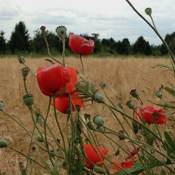 poppy nature beautifulnatur beautifulnaturephotography beautifulnaturecolors