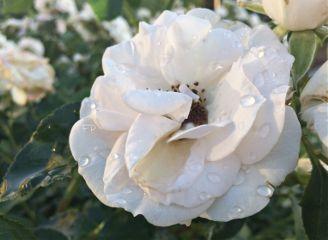 flower rain rose waterdrops spring