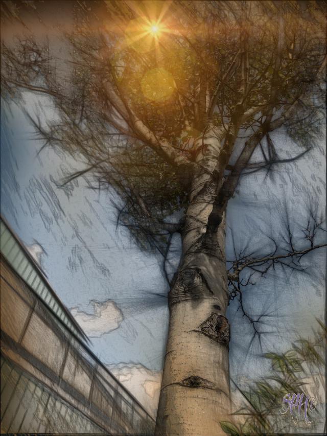 Courtyard birch...   #nature #pencilart #colorful #cranbrook #summerstory