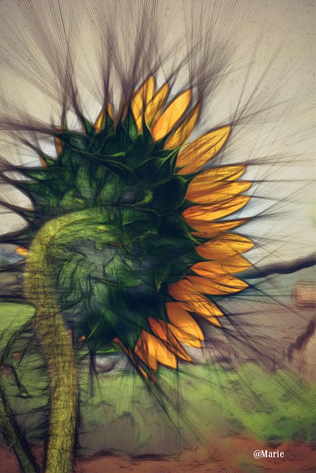The Last Portrait of  Summer   #pencilart  #summer   #sunflower #twilighteffect