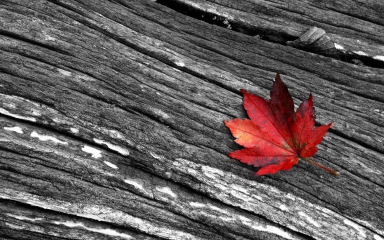 red leaves leaf nature blackandwhite