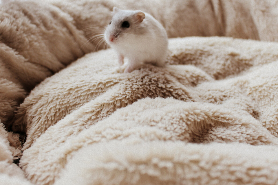 #soft #cinemara #cute #hamster #petsandanimals  #photography #cinerama