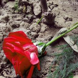 soft rose photography