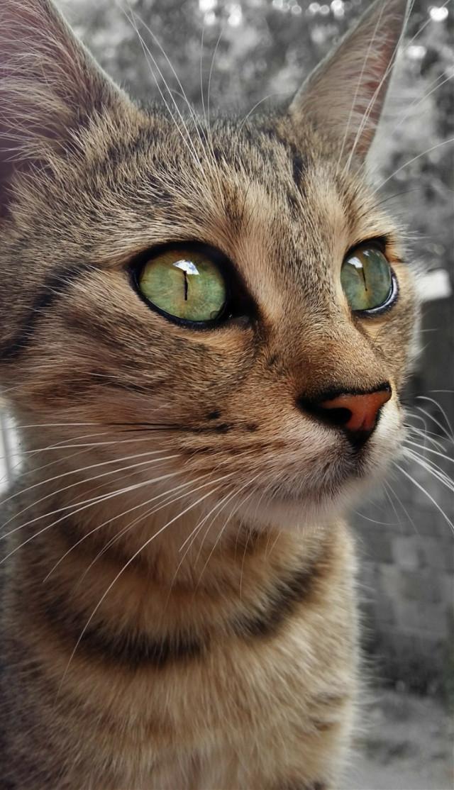👑☺ #CatCadı #Cat #Cute #Colorful #Green #Beautiful #Eyes  #MyCat