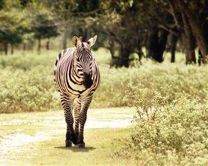 zebra photography safari nature animals