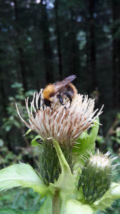 petsandanimals photography bumblebee