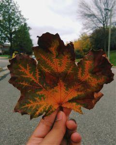 nature photography fall autumn mapleleaf